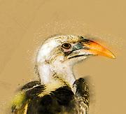 Digitally enhanced image Close up portrait of a Red-billed Hornbill (Tockus erythrorhynchus). Photographed in Kenya, Samburu National Reserve, Kenya