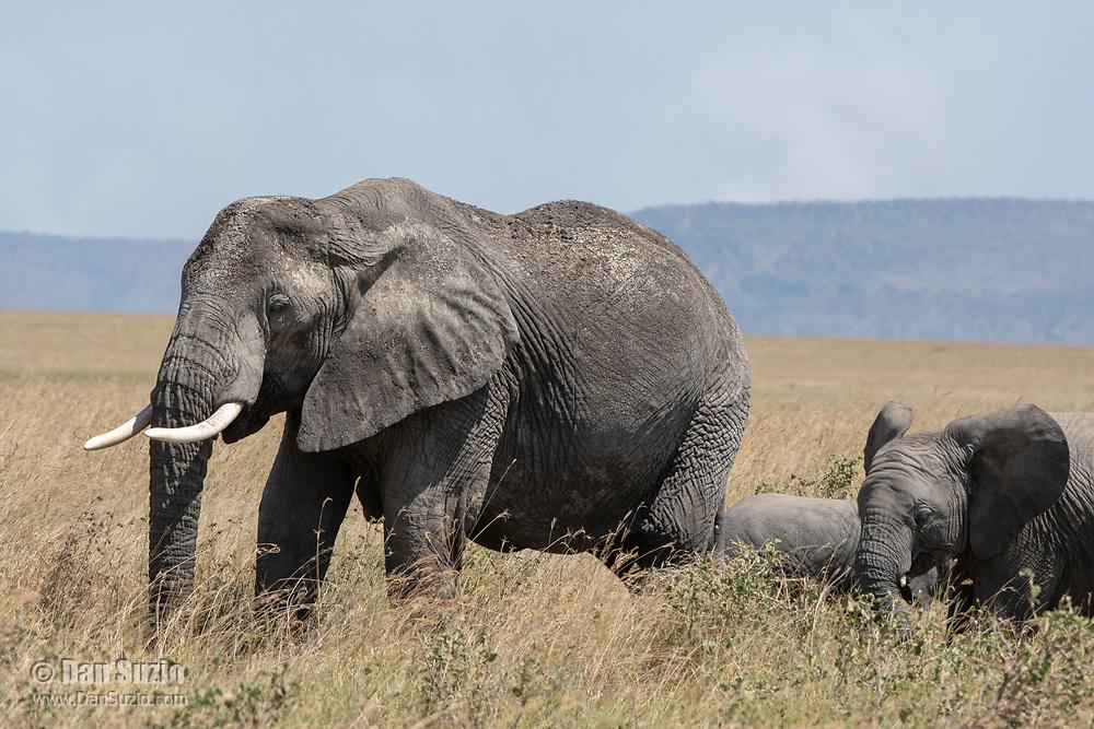 Adult and calf African Elephant, Loxodonta africana, in Serengeti National Park, Tanzania