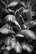 Palm tree in rainforest, Hilo, Hawaii.