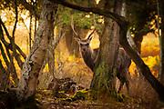 Sika stag (Cervus nippon) in the woods at sunset. Arne, Dorset, UK.