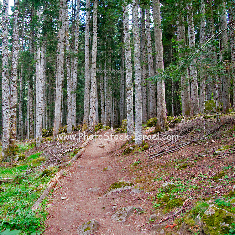 Dense natural forest. Photographed in The Pyrenees mountains, Val d'Aran, Catalonia, Spain