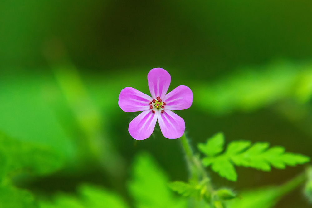 "This little jewel of the forest floor is considered a noxious weed in Washington state (where this was photographed) and has taken over much of the Pacific Northwest. Native to Europe, this little geranium is one of hundreds of plants introduced as an attractive ornamental that escaped into the wild. Often called ""Stinky Bob"", crushing the leaves or stem will result in the strong odor of burning tires."