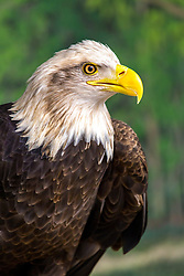 When an eagle appears, you are on notice to be courageous and stretch your limits. Do not accept the status quo, but rather reach higher and become more than you believe you are capable of.