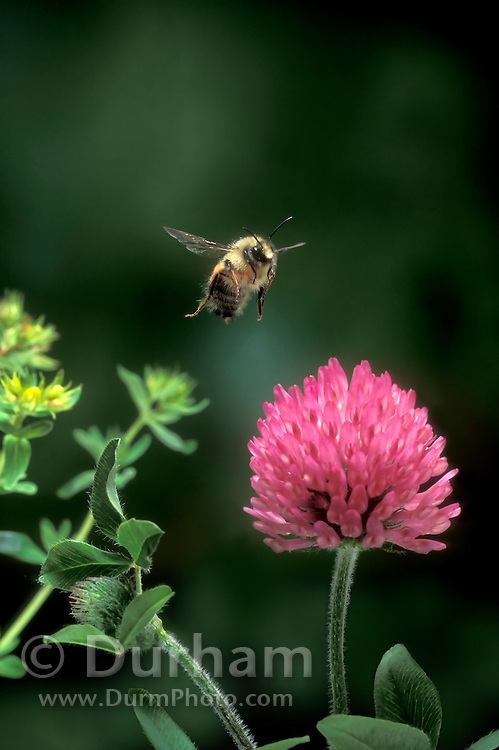 A bumble bee (Bombus huntii) flying to a red clover flower, Northwest Oregon.