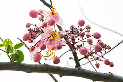 Cassia Bakeriana Pink Shower Wishing Tree#7