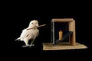 [captive] Goffin's cockatoo (Cacatua goffiniana). In this experiment, the cockatoo learns to use a tool. It needs to poke a treat (peanut) in a box using a stick until the treat falls out off the box. Handling of the stick requires coordination of foot and beak. Goffin's cockatoos or Tanimbar Corellas are endemic to the Tanimbar archipelago in Indonesia. Research on their cognitive abilities is done in the Goffin Lab (Lower Austria) by Dr. Alice M. I. Auersperg. Sequence 6/10. | Goffinkakadu (Cacatua goffiniana). In diesem Versuch muss der Goffinkakadu erlernen, mit einem Stock nach einer Belohnung (Erdnuss) zu stochern, um sie zum Rausfallen aus einer ansonsten unzugänglichen Box zu bringen. Die Handhabung des Stöckchens verlangt Koordination von Fuß und Schnabel. Der Kakadu lernt hierbei den Werkzeuggebrauch. Der Goffinkakadu ist eine Papageienart und kommt in freier Wildbahn ausschließlich auf der indonesischen Inselgruppe Tanimbar vor. Forschung zu kognitiven Fähigkeiten des Goffinkakadus wird im Goffin Lab (Niederösterreich) von Dr. Alice M. I. Auersperg durchgeführt. Sequenz 6/10.