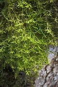 "The woolly blanket of flat neckera (Neckera complanata) growing on Ash tree (Fraxinus excelsior) in broadleaved forest on slopes of river Ruņa, nature reserve ""Ruņupes ieleja"" (dabas liegums ""Ruņupes ieleja""), Kurzeme, Latvia Ⓒ Davis Ulands | davisulands.com"