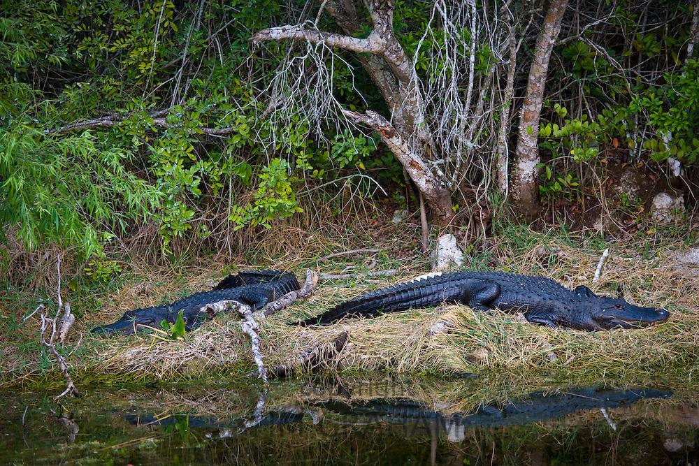 Alligators in Turner River, Everglades, Florida, United States of America
