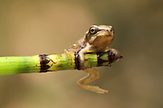 European tree frog, Hyla arborea, On a twig Israel