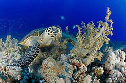 Eretmochelys imbricata, Echte Karettschildkröte am Korallenriff frisst Weichkoralle, Hawksbillturtle in coralreef feeding soft coral, Brother Inseln, Rotes Meer, Ägypten, Brother Islands, Red Sea Egypt