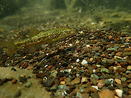 Speckled Dace<br /> <br /> Todd Pearsons/Engbretson Underwater Photography