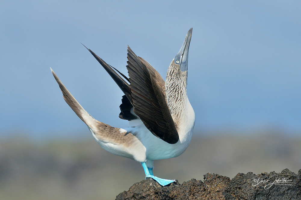 Blue-footed Booby (Sula nebouxii), Galapagos Islands National Park, North Seymore Is., Ecuador