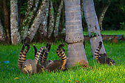 Coatis, genera Nasua and Nasuella, also known as coatimundi /koʊˌɑːtɨˈmʌndi/, Brazilian aardvark, Mexican tejón, cholugo, or moncún, hog-nosed coons, and other names, are members of the raccoon family (Procyonidae). They are diurnal mammals native to South America, Central America, and south-western North America. The term is reported to be derived from the Tupi language (Brazil).