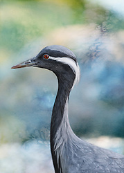 The common crane, also known as the Eurasian crane, is a bird of the family Gruidae, the cranes. A medium-sized species, it is the only crane commonly found in Europe besides the demoiselle crane.
