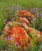Phacelia and Lichen covered Rock, Carrizo Plain National Monument, California