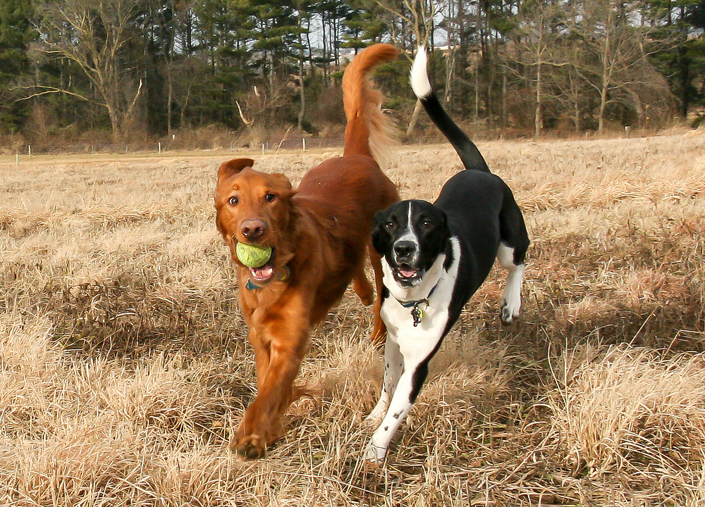 Holiday outing for Doc & Clyde, running about in near perfect stride at the Nine Springs Dog Park, Christmas Day, 2014.
