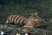 Einem chinesischem Drachen nicht unähnlich gleitet dieser ca. 25 cm große Fangschreckenkrebs (Lysiosquilla sulcirostris) über den Sandgrund. | Mantis Shrimp (Lysiosquilla sulcirostris)