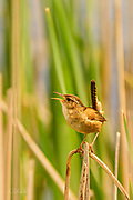 "The Marsh Wren (Cistothorus palustris) is a small, formally common, North American songbird inhabiting cattail marshes whose numbers have declined with the loss of suitable wetland habitat. Draining of marshes leads to its local extinction.  <br /> <br /> These birds forage actively in vegetation, sometimes flying up to catch insects in flight. They mainly eat insects, but may also consume spiders and snails.  The Marsh Wren sings all day and throughout the night producing a gurgling, rattling trill often used to declare ownership of its territory.<br /> <br /> The nest is an oval lump of woven wet grass, cattails, and rushes, which is lined with fine grass, plant down, and feathers.  It is attached to marsh vegetation and entered from the side. Industrious male Marsh Wrens build ""dummy nests"" in their nesting territories, occasionally up to twenty or more, although most are never used for raising young.  <br /> <br /> Normally four to six eggs are laid twice each year, although the number can range from three to ten.  The eggs are generally pale brown and heavily dotted with dark brown; although sometimes they may be all white. Only the female incubates the eggs which hatch after 13-16 days. The young leave the nest about 12-16 days after hatching."