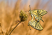 Two mating Southern swallowtail (Papilio alexanor) butterflies with its wings spread. This species, also known as the Alexanor, is native to southern Europe. Photographed in Israel in February