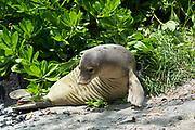 Hawaiian monk seal, Neomonachus schauinslandi, formerly Neomonachus schauinslandi ( CriticallyEndangered, endemic species ), 5 1/2 month old juvenile male ( flipper tags N02 / N03, Kamilo ), resting under naupaka bush, Honaunau, South Kona, Hawaii ( the Big Island )