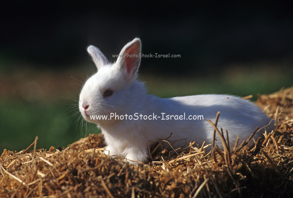 domesticated European rabbit (Oryctolagus cuniculus), which has been extensively domesticated for food or as a pet.