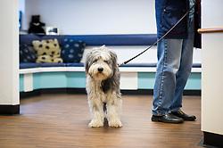 Pet dog arrived at reception, Rushcliffe Veterinary Centre, West Bridgford, Nottingham, UK.<br /> Photo: Ed Maynard<br /> 07976 239803<br /> www.edmaynard.com