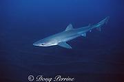 tope, school, or soupfin shark, Galeorhinus galeus, Azores Islands, Portugal ( North Atlantic Ocean )