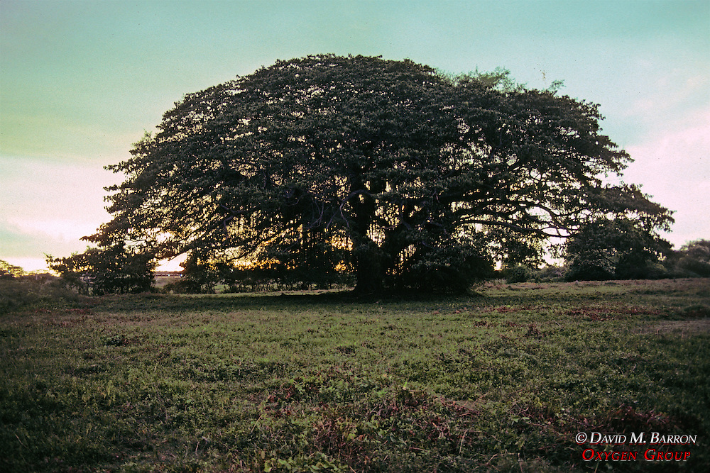 Very Large Tree