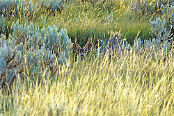 Black-tailed Deer In Grass