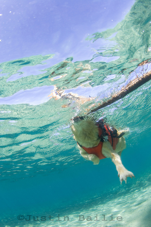Underwater image of dog swimming in Lake Tahoe, CA