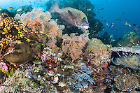 Busy Place.  Amongst schooling Cardinalfishes and other reef fish, a large Sweetlips attempts to get cleaned on a very healthy Coral Bommie.<br /> <br /> Shot in Indonesia