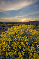 Sunset over fields of Brittlebush (Encelia farinosa), Superstition Mountains, Arizona