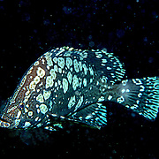 Marbled Grouper, juvenile, are rare and inhabit reefs in Tropical West Atlantic; picture taken Bonaire.