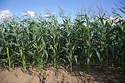 Sweet Corn or maize growing in a field, Shottisham, Suffolk, England