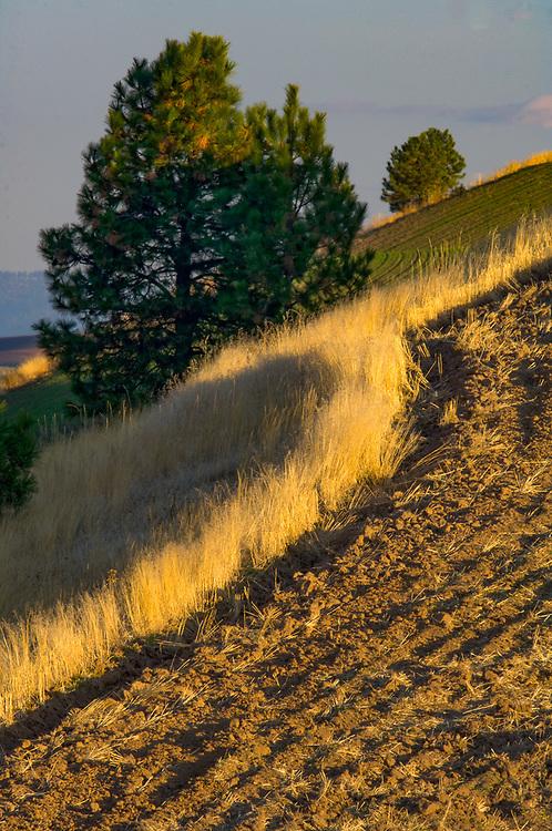 alouse Hills wheatlands, Ponderosa pine trees (Pinus ponderosa), WA, USA