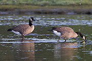 Two Canada geese (Branta canadensis) rest and feed in the Edmonds Marsh, Edmonds, Washington.