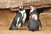 African Penguin (Spheniscus demersus), also known as the Black-footed Penguin