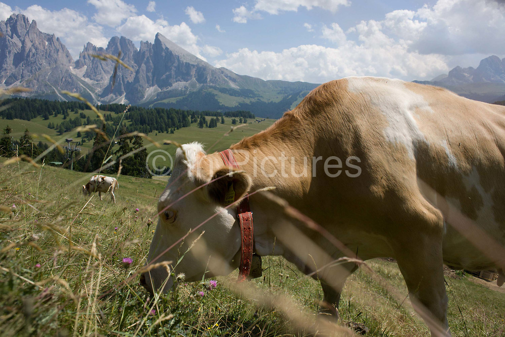 Grazing cows on the Siusi plateau, above the South Tyrolean town of Ortisei-Sankt Ulrich in the Dolomites, Italy. The Alpe di Siusi is the biggest high-alpine pasture in Europe with a surface of 57 km² and its altitude range from 1680 to 2350 m above sea level. This high-alpine pasture is located in the heart of the Dolomites. A mostly older generation of farmers work the land in this high area, known for its summer hiking trails and skiing pistes.