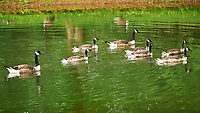 Canada Geese. Sourland Mountain Preserve. Image taken with a Nikon D3 camera and 80-400 mm VR lens.