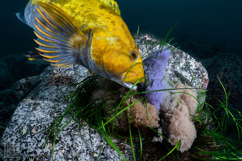 This fat greenling (Hexagrammos otakii) male is tending to several clutches of eggs, which are the result of spawning with multiple females. The bright yellow-orange coloration of the male is indicative of reproductive season. The multiple clutches and large number of healthy eggs show that this is a successful male, meaning that he has attracted many females and has done well protecting the eggs from predators.