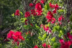 Lathyrus odoratus 'Henry Thomas', sweet pea, growing up a birch teepee