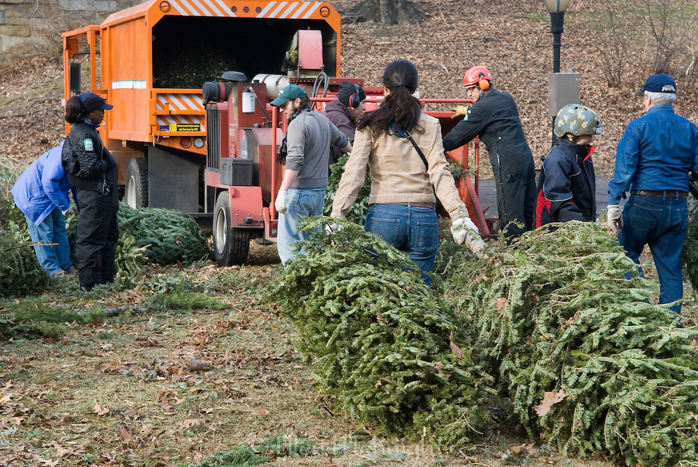 """New York City's 2008 """"Mulchfest"""" took place on January 5th & 6th, 2008. Park workers and volunteers throughout the five boroughs collected Christmas trees and recycled them into mulch."""