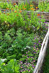 Bed in the vegetable patch. Viola, parsley, Calendula 'Indian Prince'