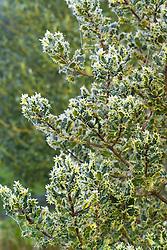 Frost on the foliage of Ilex aquifolium 'Ferox' - hedgehog holly