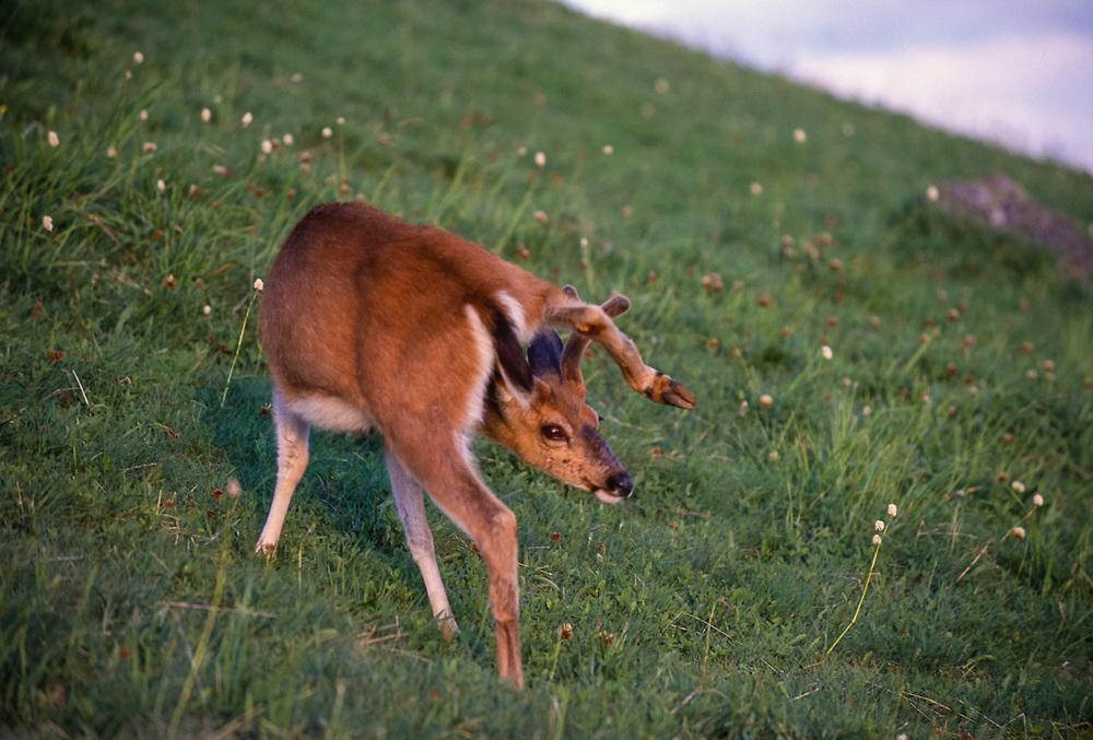 Blacktail deer, Hurricane Ridge, Olympic National Park, Washington, USA