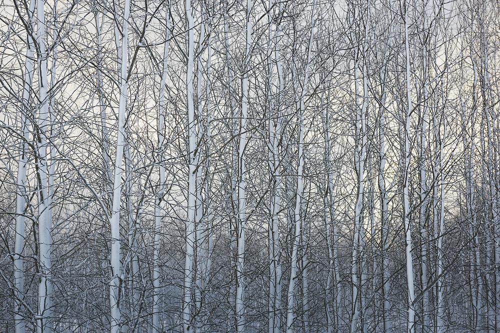 Mixed young stand of birch trees and alders in snow, Vidzeme, Latvia Ⓒ Davis Ulands | davisulands.com