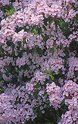 Pocono mountains Mountain Laurel, Wayne and Pike Co. Northeast PA