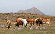 Bovine at Mývatn, north Iceland