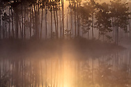 Morning sun filters through fog and pine trees on the island in Long Pine Key pond in Everglades National Park, Florida. <br /> <br /> WATERMARKS WILL NOT APPEAR ON PRINTS OR LICENSED IMAGES.<br /> <br /> Licensing: https://tandemstock.com/assets/42948994