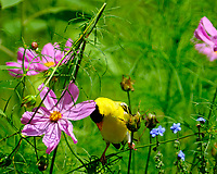 American Goldfinch having Cornflower for Lunch. Image taken with a Fuji X-T2 camera and 100-400 mm OIS lens